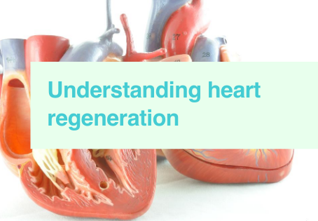 Heart regeneration & zebrafish