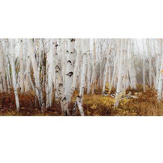 Muskoka birch stand photograph print
