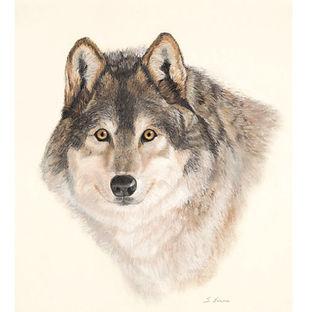 Muskoka wolf print photography