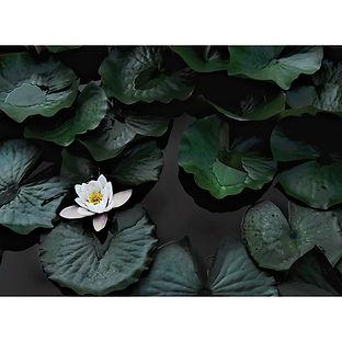 Algonquin Waterlilly Flower Lake