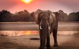 Elephant at Sunset in the Masai Mara