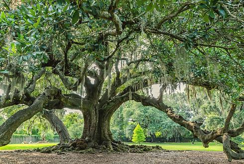 tree of life audubon park (1).png