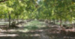 walnut tree 2.jpg