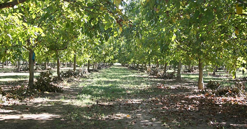 walnut tree 2.jpg