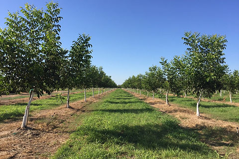 walnut tree 1.jpg