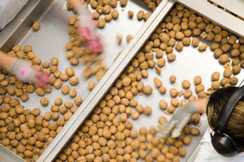 walnut proc 1.jpg