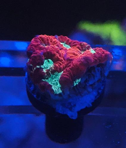 Red & Green Lava Favia
