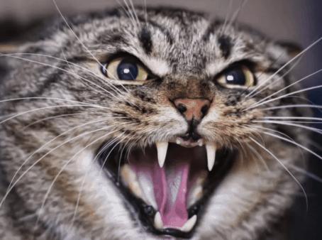 תוקפנות אצל חתולים