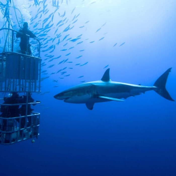 Shark Diving & Viewing Full Day Tour
