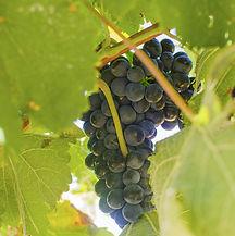 rácimo de uva garncha cogado de una vid, en los viñdos de Pagos del Moncayo