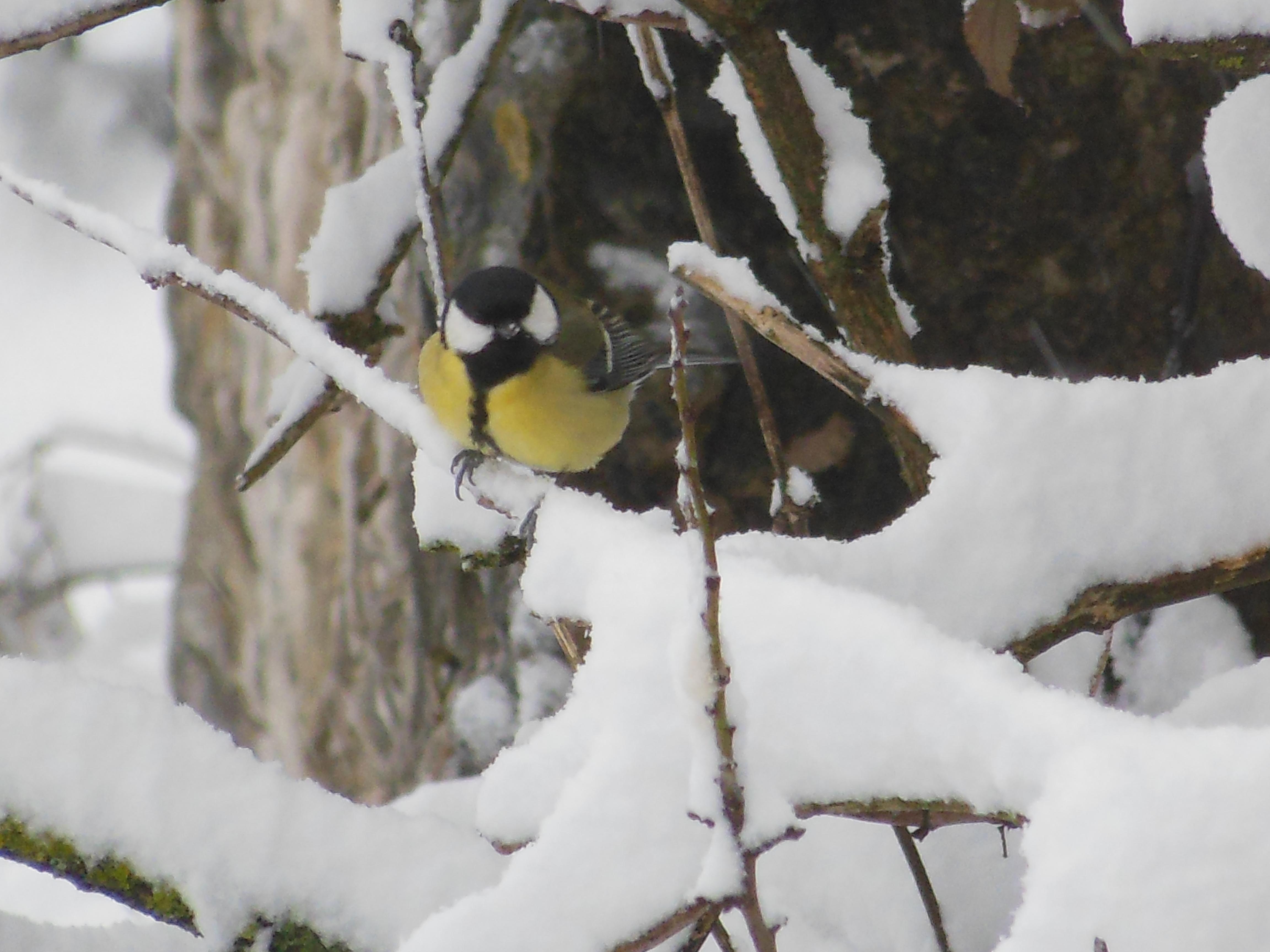 Mésange en hiver