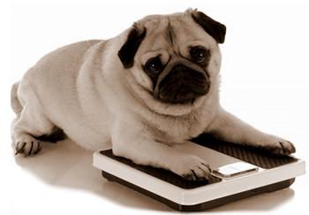 Cachorro acima do peso