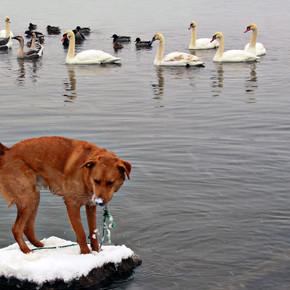 Kooper the Dim and the Swan