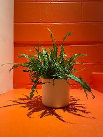 plant - Nephrolepis.jpg