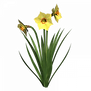 daffodil-clipart-bloom-17.png