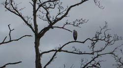 Tree Heron