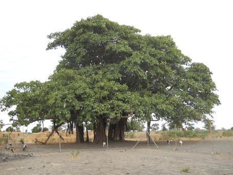 Mirmir Outreach Clinic under the Bieh Tree