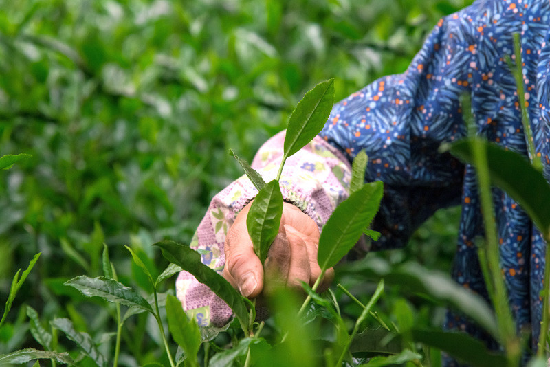 玉露の茶摘み1.jpg