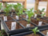 dahlia_plants2_2017-05-19.JPG