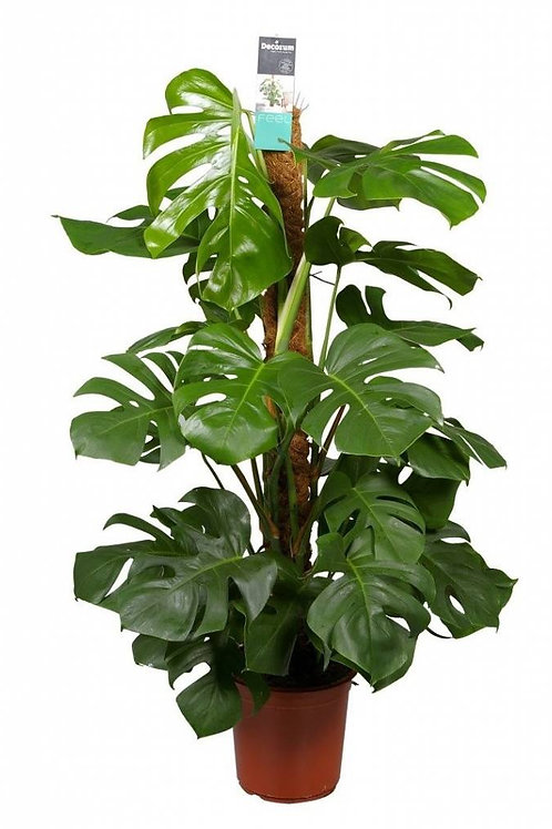 Cheese Monstera Extra Large
