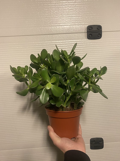 Crassula Jade Large