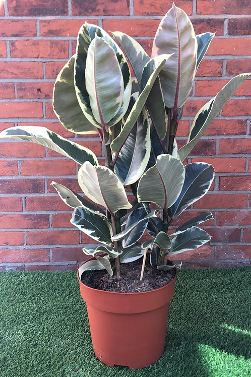Tineke Ficus Elastica 'Rubber Plant'