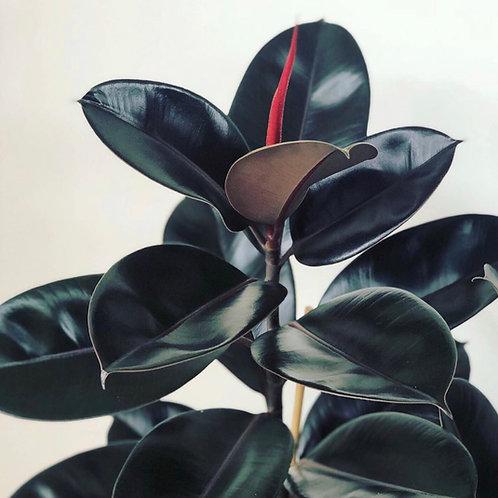 Black Abidjan Ficus Elastica 'Rubber Plant'
