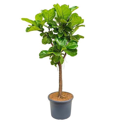 Fiddle Leaf Fig Standard (Ficus Lyrata)