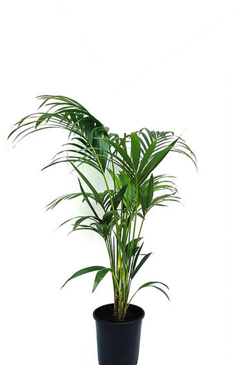 Kentia Palm (Howea Forsteriana) Medium