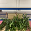 Thumbnail: Fishbone Cactus