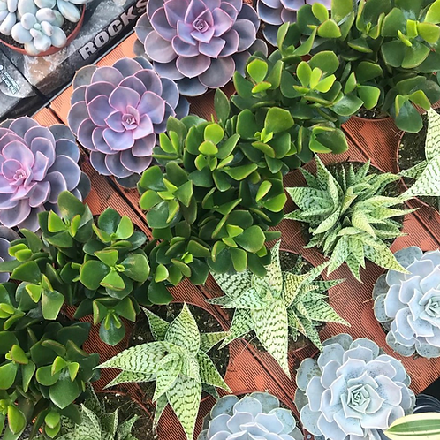 Eight Mixed Succulents