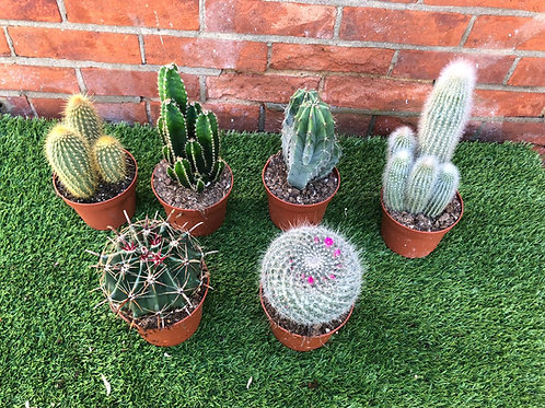 Six Mixed Cacti