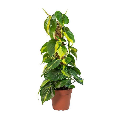 Philodendron Brasil Moss Pole