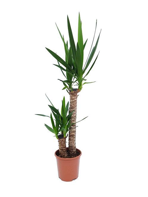 Yucca Medium