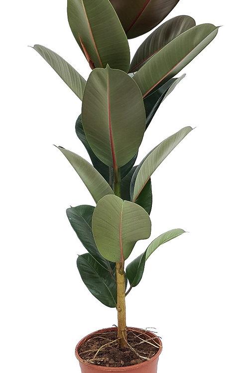 Rubber Plant (Ficus Elastica)