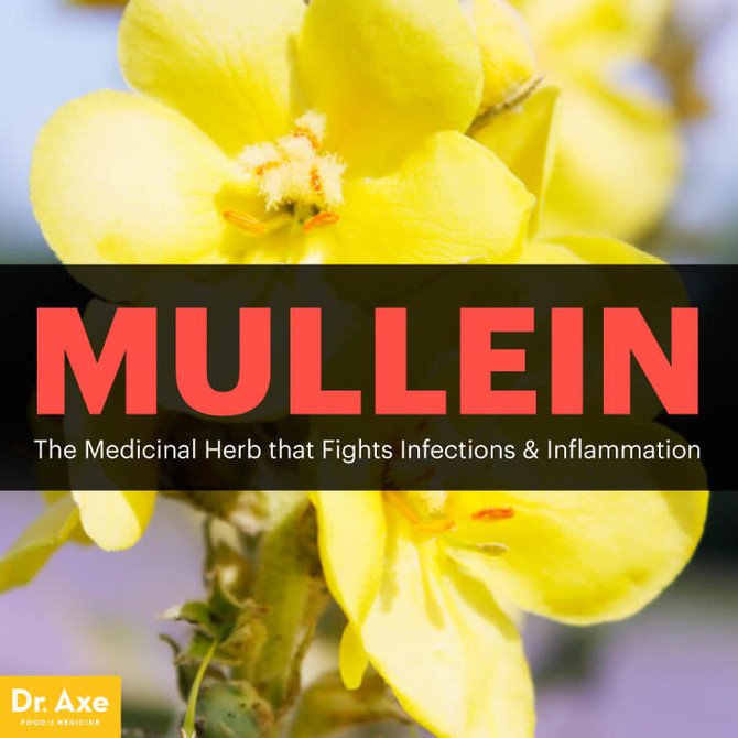 Mullein: The Medicinal Herb that Fights Infections & Inflammation
