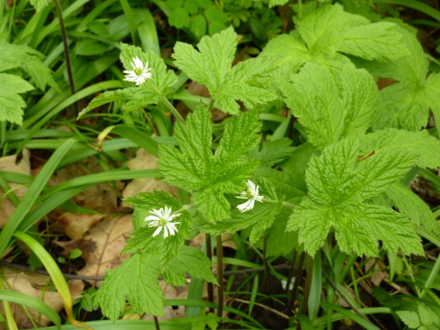 Goldenseal for Candida Yeast Overgrowth
