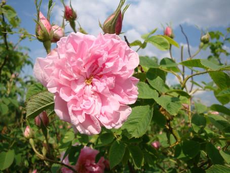 Rose Festival, Kazanlak Bulgaria