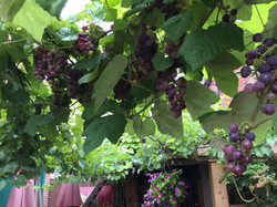 Grape canopy above the patio