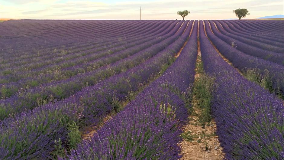 Lavender Season in Aix En Provence & California