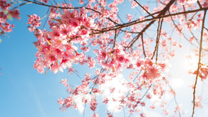 TERUNGKAP FAKTA Bunga Sakura Sang Penanda Datangnya Musim Semi