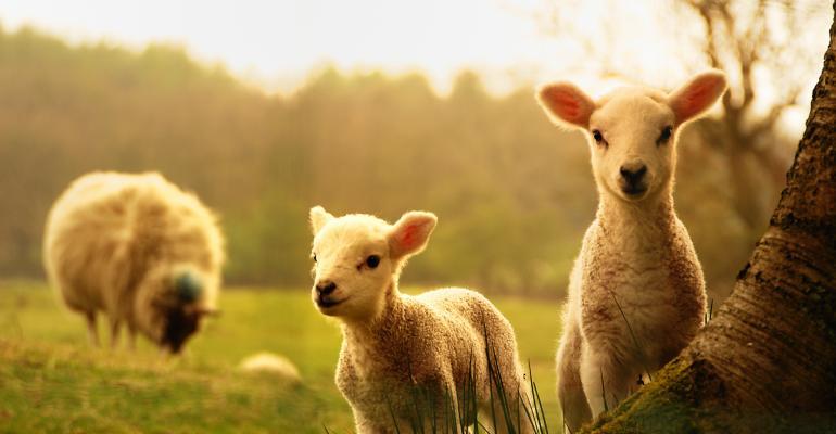 sheep-lambs-outdoors_shutterstock_123421