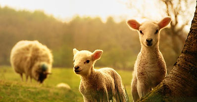 sheep-lambs-outdoors_shutterstock_123421