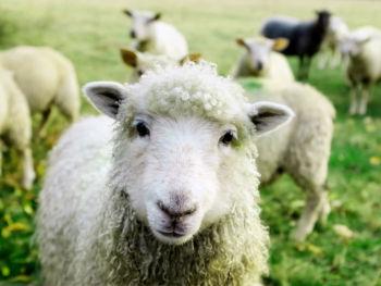 lamb-organic-grassfed-pasture-raised-buy