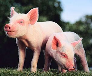 4-HAnimalScienceSwine.jpg
