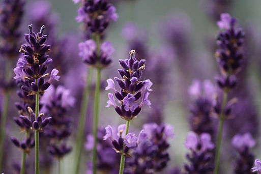 lavender-3479492_1920.jpg