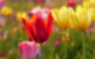 tulips-3389122_1920.jpg