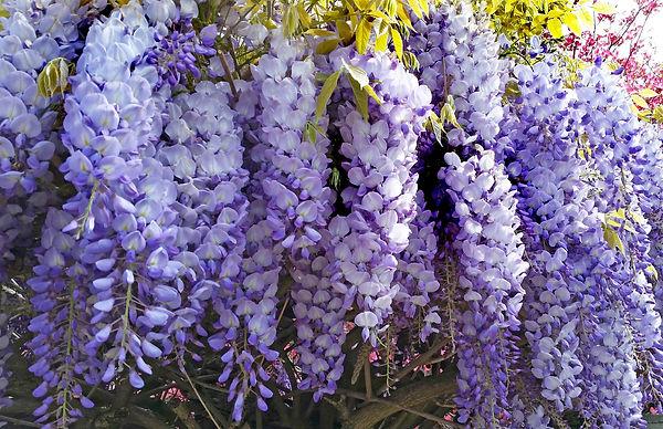 wisteria-3348695_1920.jpg