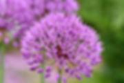 ornamental-onion-3368660_1920.jpg