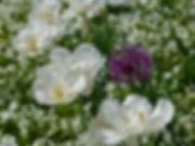white-tulips-3360742_1920.jpg